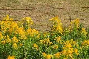 ragweed, pollen, airborne irritants, fall allergy season,